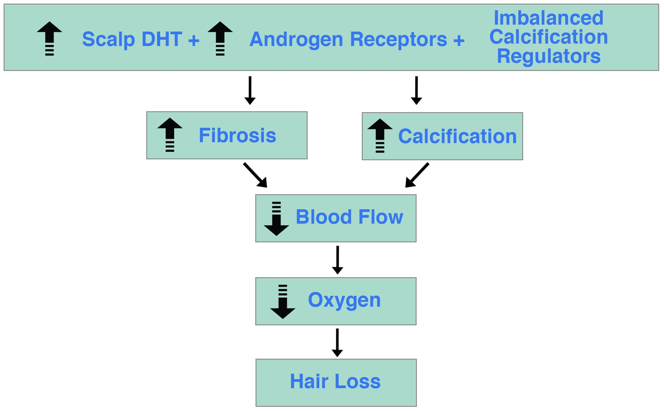 DHT Androgen Receptors Imbalanced Calcification Regulators Hair Loss