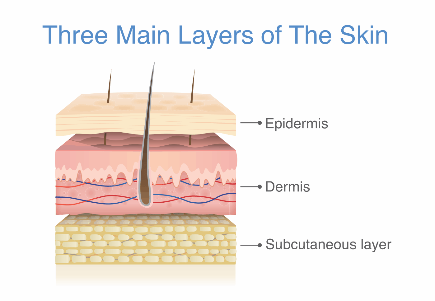 Three layers of skin