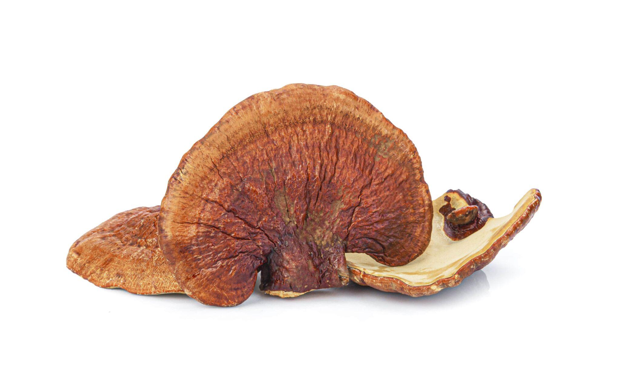 Reishi Mushroom for AGA